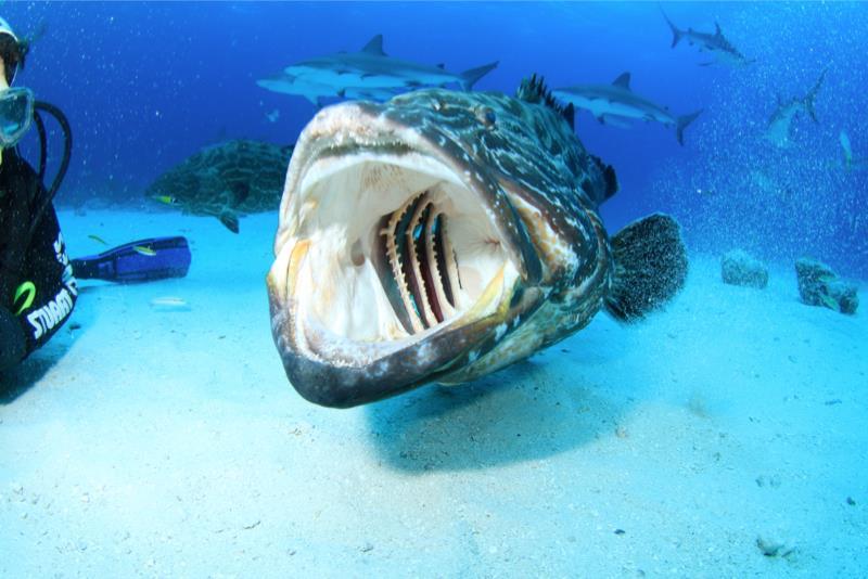 Large Grouper dental exam