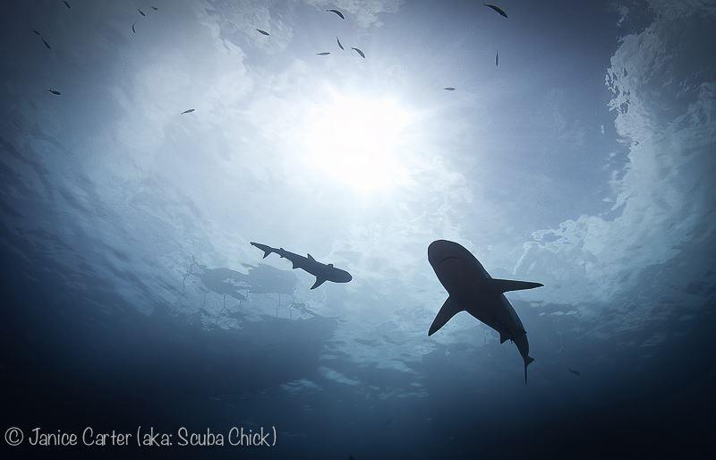 Sharks - Yap