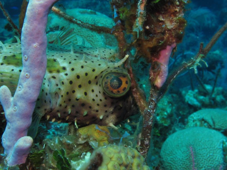 Porcupine Puffer fish trying to hide