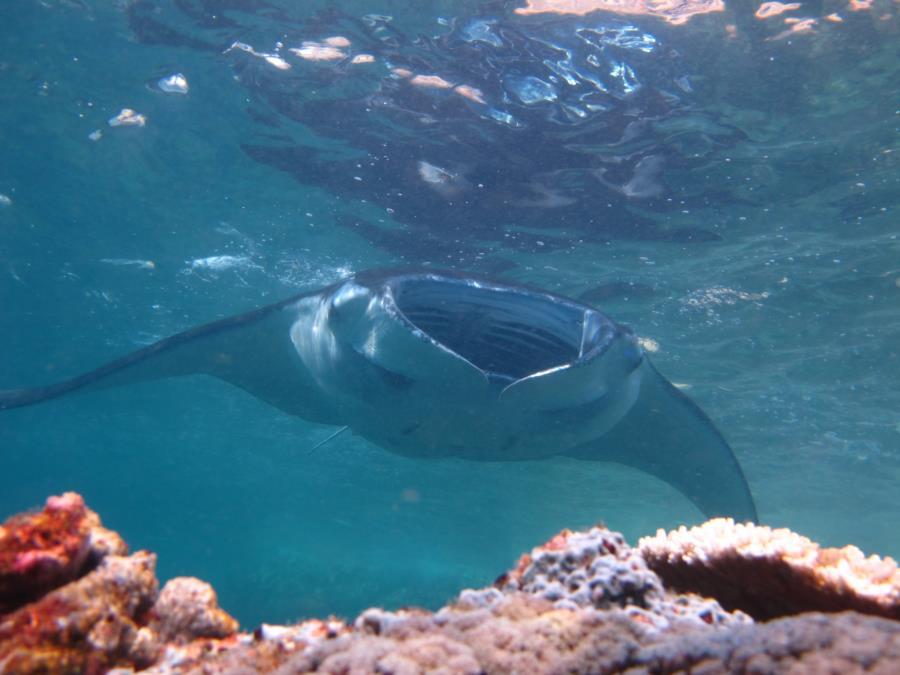Giant Pacific Manta