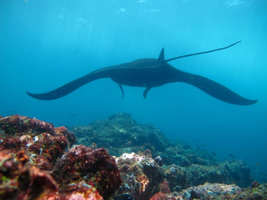 Giant Pacific Manta at Manta alley off if Rinca Island, Indonesia