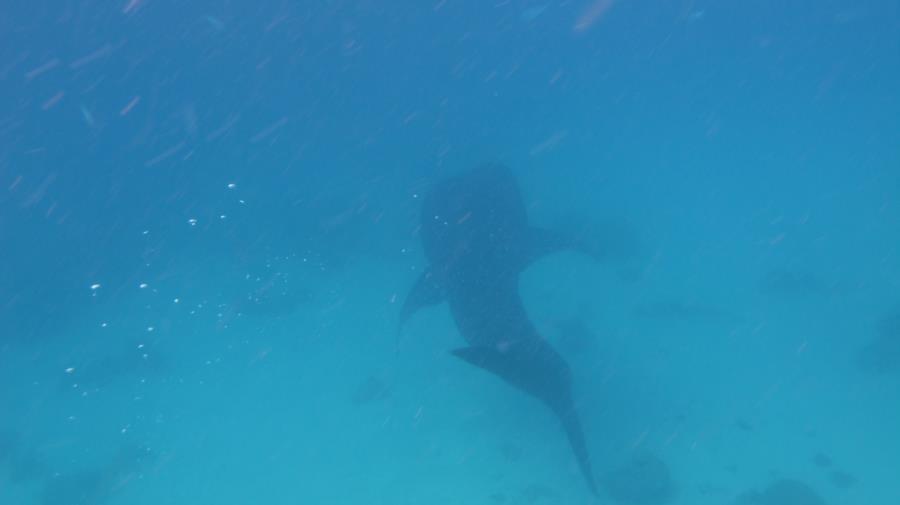 Whale Shark at Oslob
