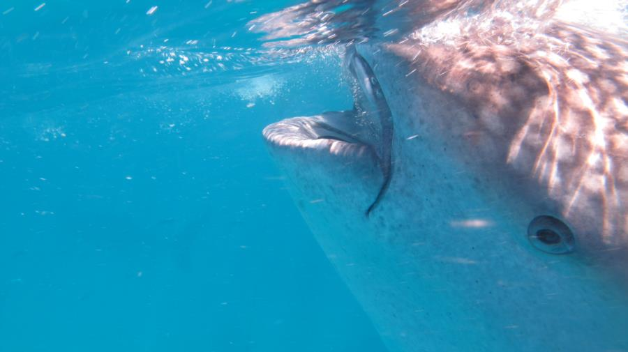 Up close with Whale Shark at Oslob