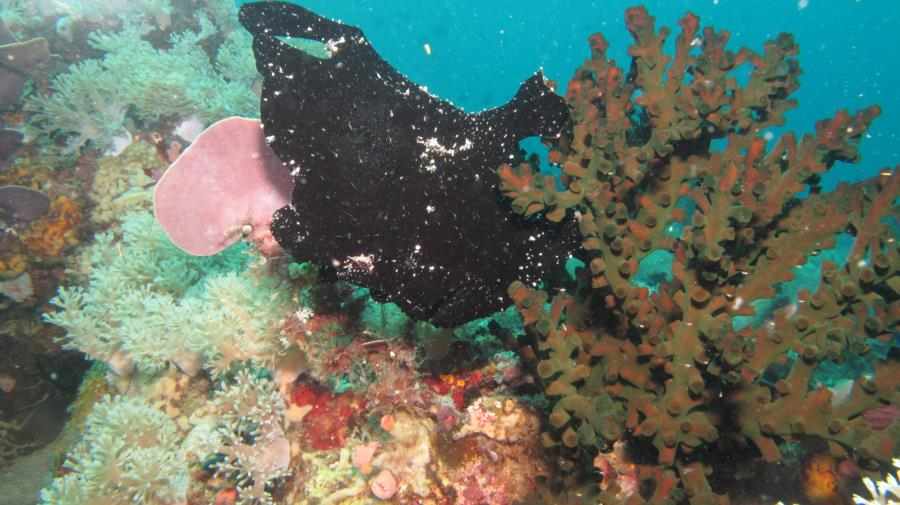 Frog fish in the Philippines