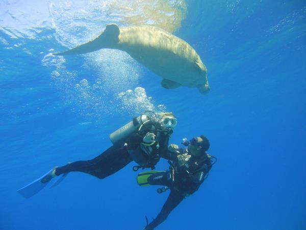 Dive with Huge Sea Cow/ Red sea