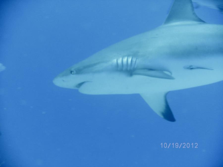 Bahama Reef Shark
