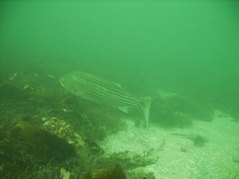 Striped Sea Bass