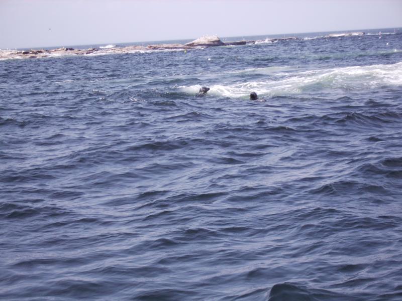 Seals, Duck Is, Is of Shoals