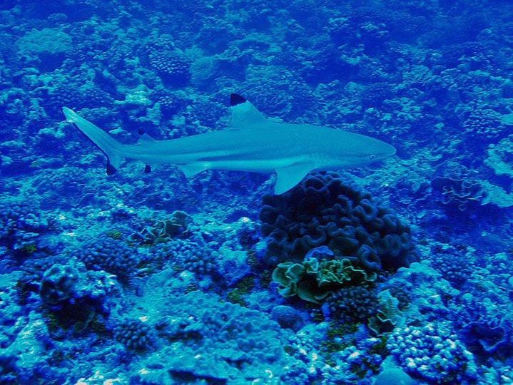Blacktip, Palmyra Atoll National Wildlife Refuge