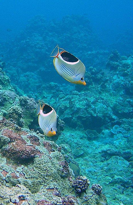 Saddleback Butterflies, Palmyra Atoll