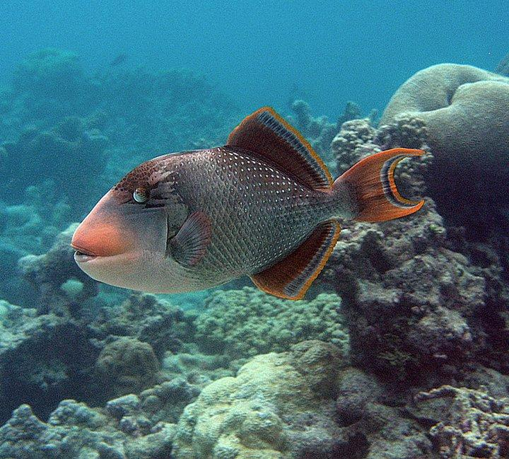 Yellow-margin Triggerfish, Palmyra Atoll