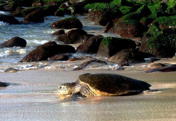Honu at Turtle Beach, O'ahu