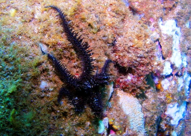 Spiny brittle star - Waimea Bay
