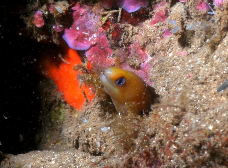 dwarf moray, Hale'iwa Trench