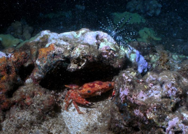 Hawaiian swimming crab & banded urchin