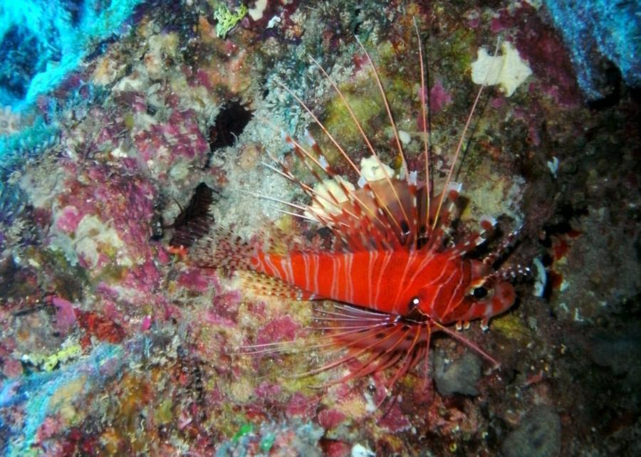 Lionfish, the Grotto, Saipan