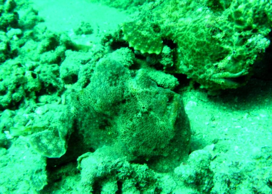 Pair of Frogfish