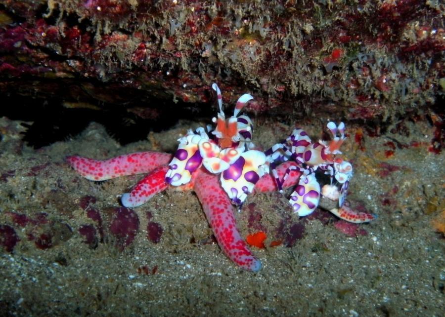 Harlequin shrimp dining on sea star