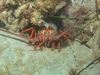 La Jolla Lobster