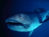 The Megamouth shark that lives in the deeps of the oceans.