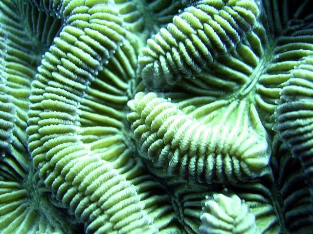 Belize coral