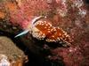 Hermissenda crassicornis Catalina Island