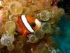 Rare.. Still... Clown fish - Macro Shot