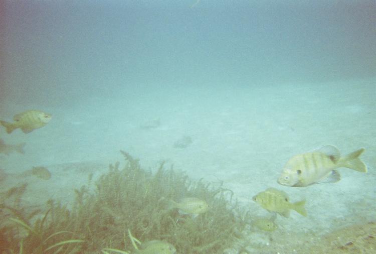 Rainbow River fish