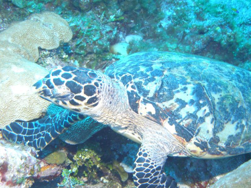 Hawkbill Turtle, Litte Cayman