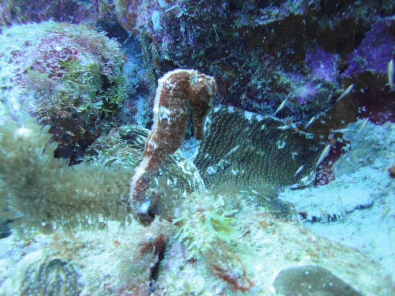 Seahorse - Bonaire Oct 2011