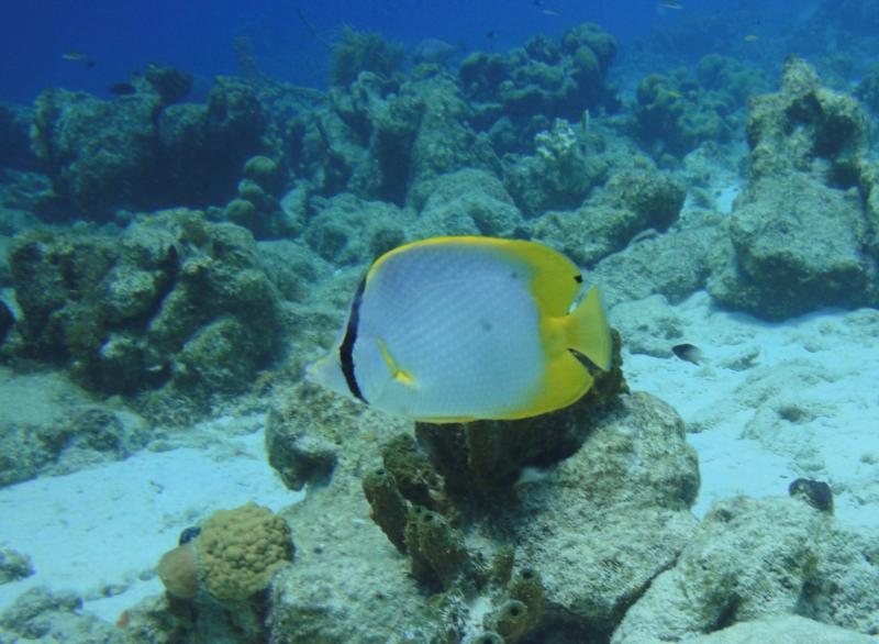 Spotfin Butterfly - Bonaire Oct 2011