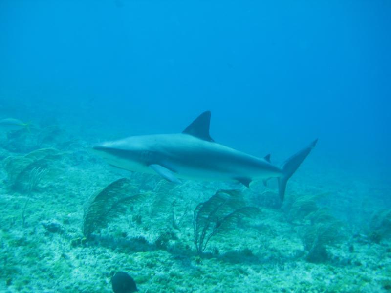 Bimini, Bull Shark