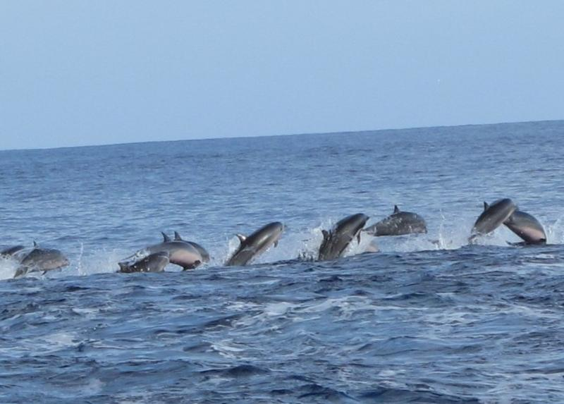 Dolphins off bow of Dive Me in Fiji