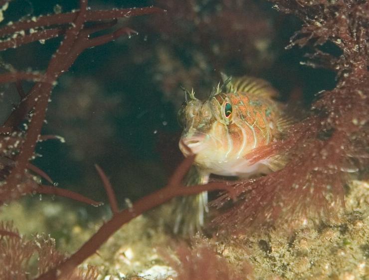 Longfin Sculpin Alki Cove 2
