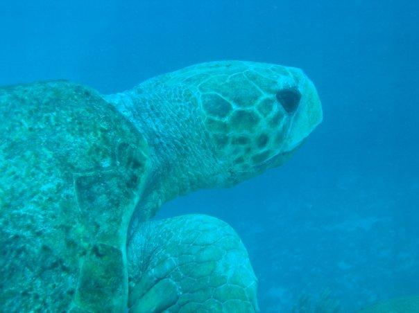 Belize Turtle (Cypress Canyons)
