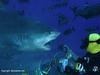 tiger shark during feeding dive in fiji