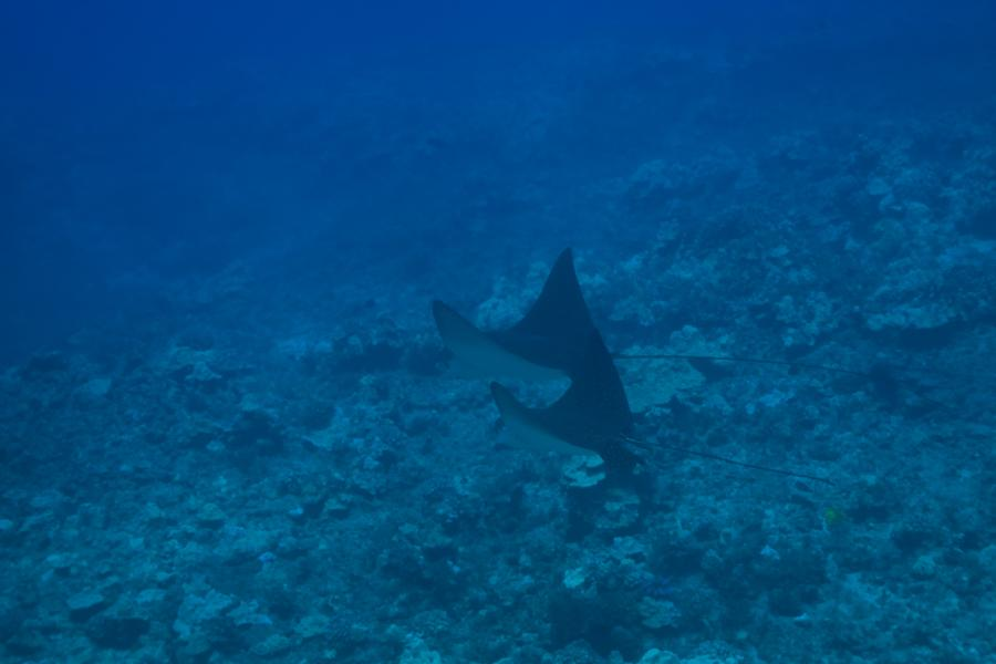 Eagle Rays off of Lanai