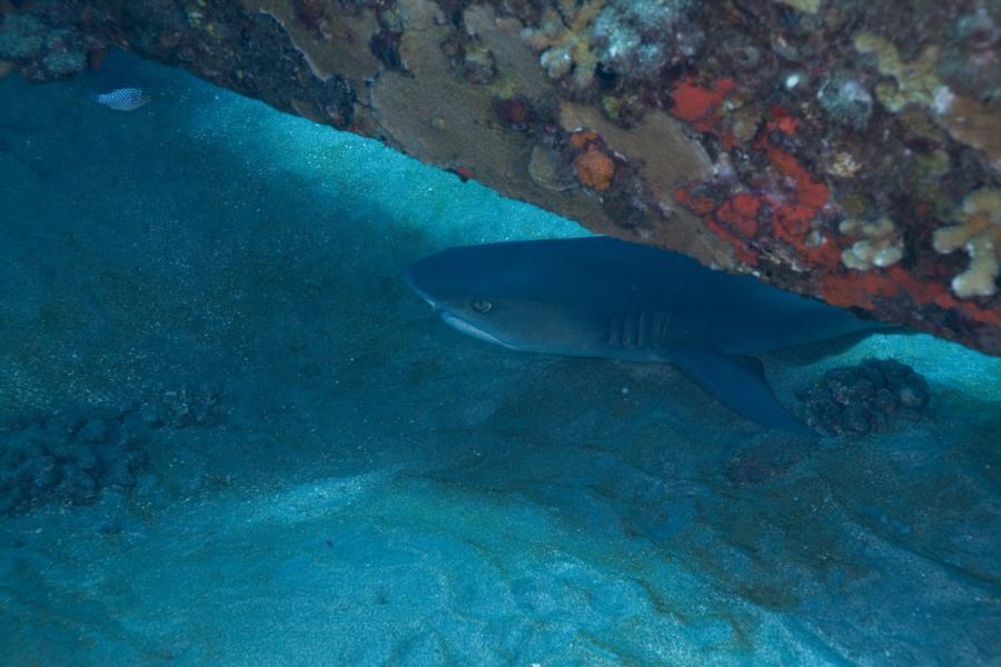 Reef shark off Lanai, HI