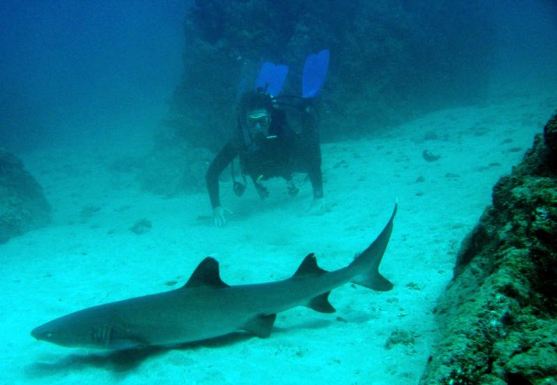 Whitetirp shark and diver