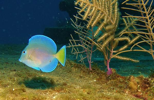 Blue Tang, Cayman Islands Oct. 09 by Valentina