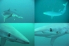 Blue sharks off Catalina Banks, part 2