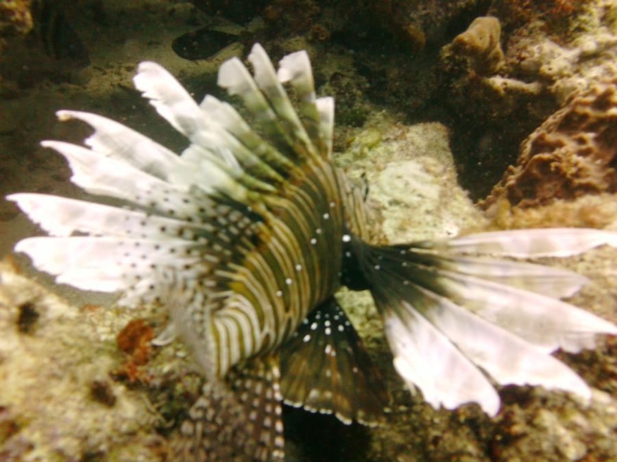 Lion Fish {Dinner}