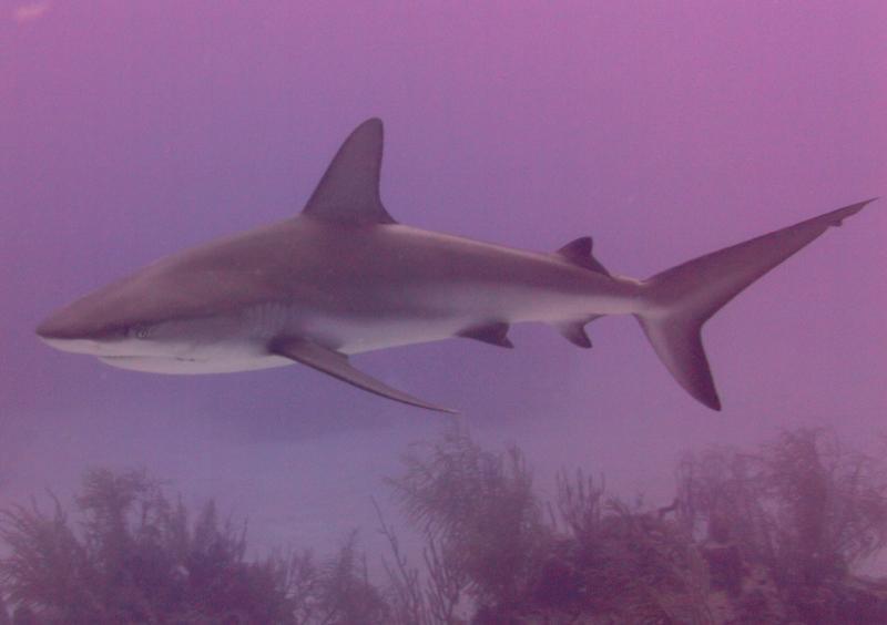 Shark (Freeport, Bahamas)