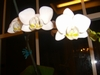 other hobby ,my first orchid that blomed