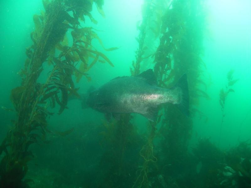 Channel Islands Anacapa Giant Sea Bass