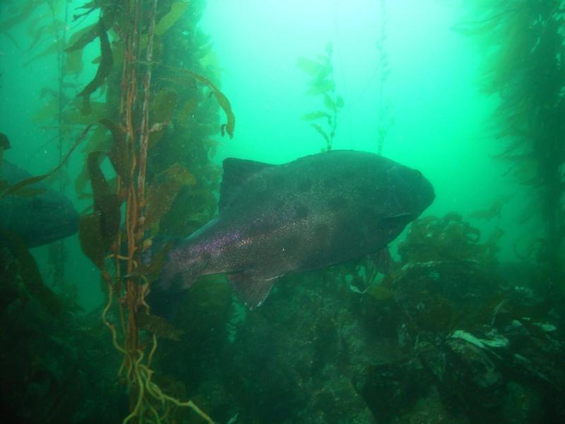 Giant Sea Bass Again