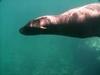 Fast swimming dive buddy. San Carlos 9/01/07