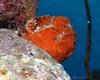 Longlure Frogfish (Antennarius multiocellatus) Red