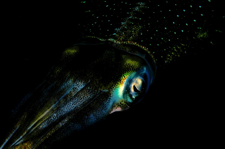 Caribbean Reef Squid - taken during the day with Nikon D100 & Sea&Sea YS110 strobe 1/180 @f32