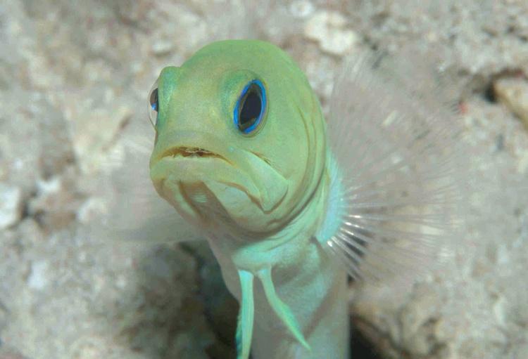 What`s Up! (Yellowhead Jawfish)